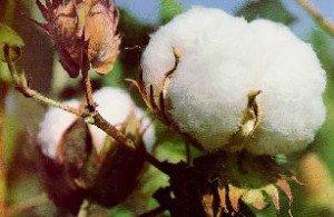 Le Vent de la Naissance dans LEVEE DU VOILE coton-duvets-300x195