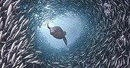 Le suicide des baleines expliqué par Kryeon dans NOUVEAU DON DE LUMIERE a-petit2