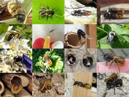 variete-abeilles-